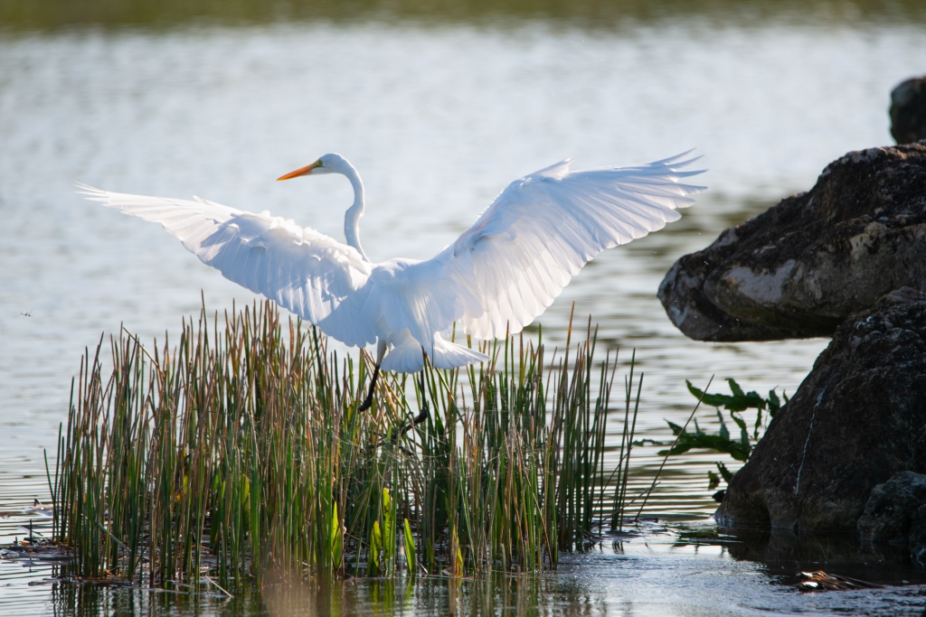 #egret, #whiteegret, #greatwhite, #greatamericanegret, #wings, #takeoff, #flight, #birdphotography, #naturephotography, #wildlife, #howto, #nikon, #tamron, #outdoorphotography, #morningsun, #sunlit, #llittoralplants, #golfcourse, #contest, #photography,