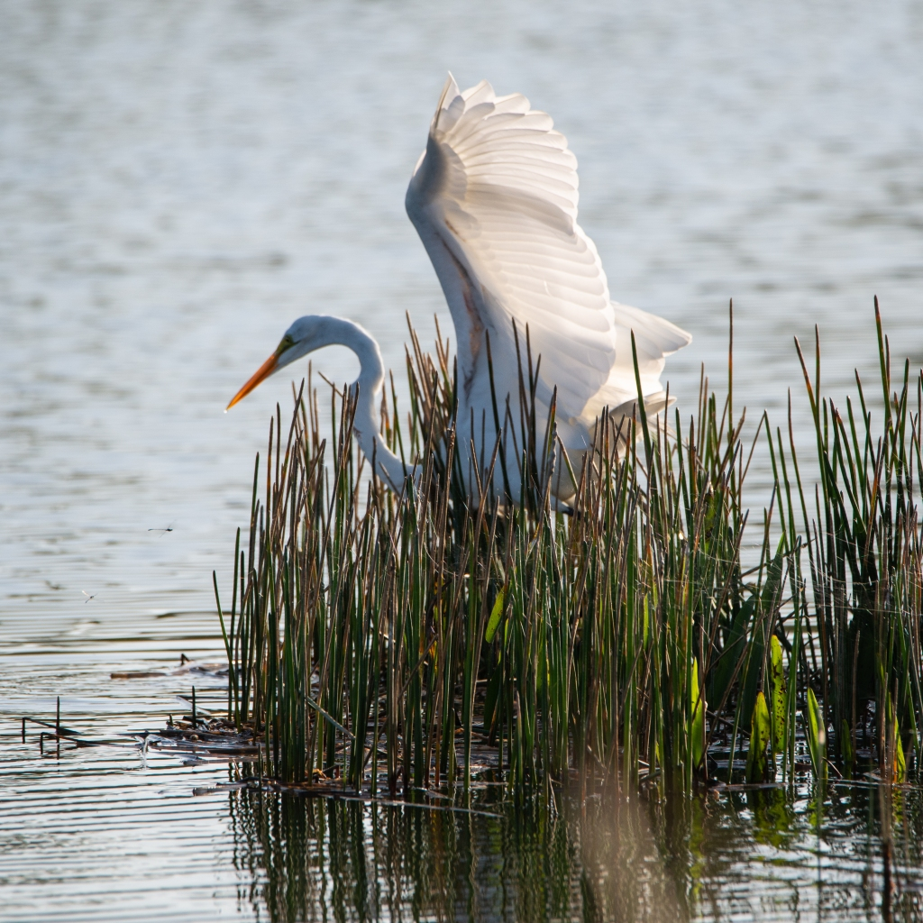 #egret, #wings, #whitewings, #greategret, #action, #wildllife, #outdoorphotography, #wildlifephotography, #anticipate, #howto, #secretsofsuccess, #lucky, #naplesflorida, #golfcourse
