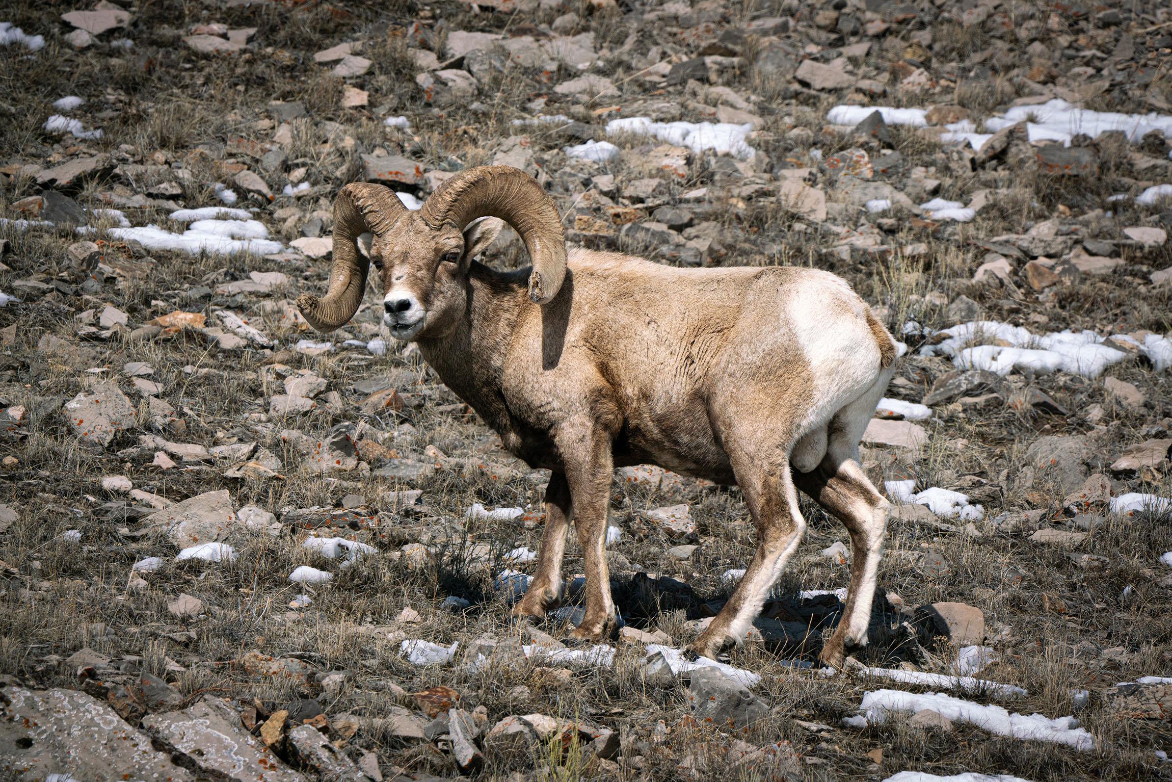 #bighornedsheep, #ram, #sheep, #wyoming, #wildlife, #wildlifephotography, #nature, #elkrefuge, #jacksonhole, #family, #horns, #nationalpark, #gtnp, #grandtetonnationalpark