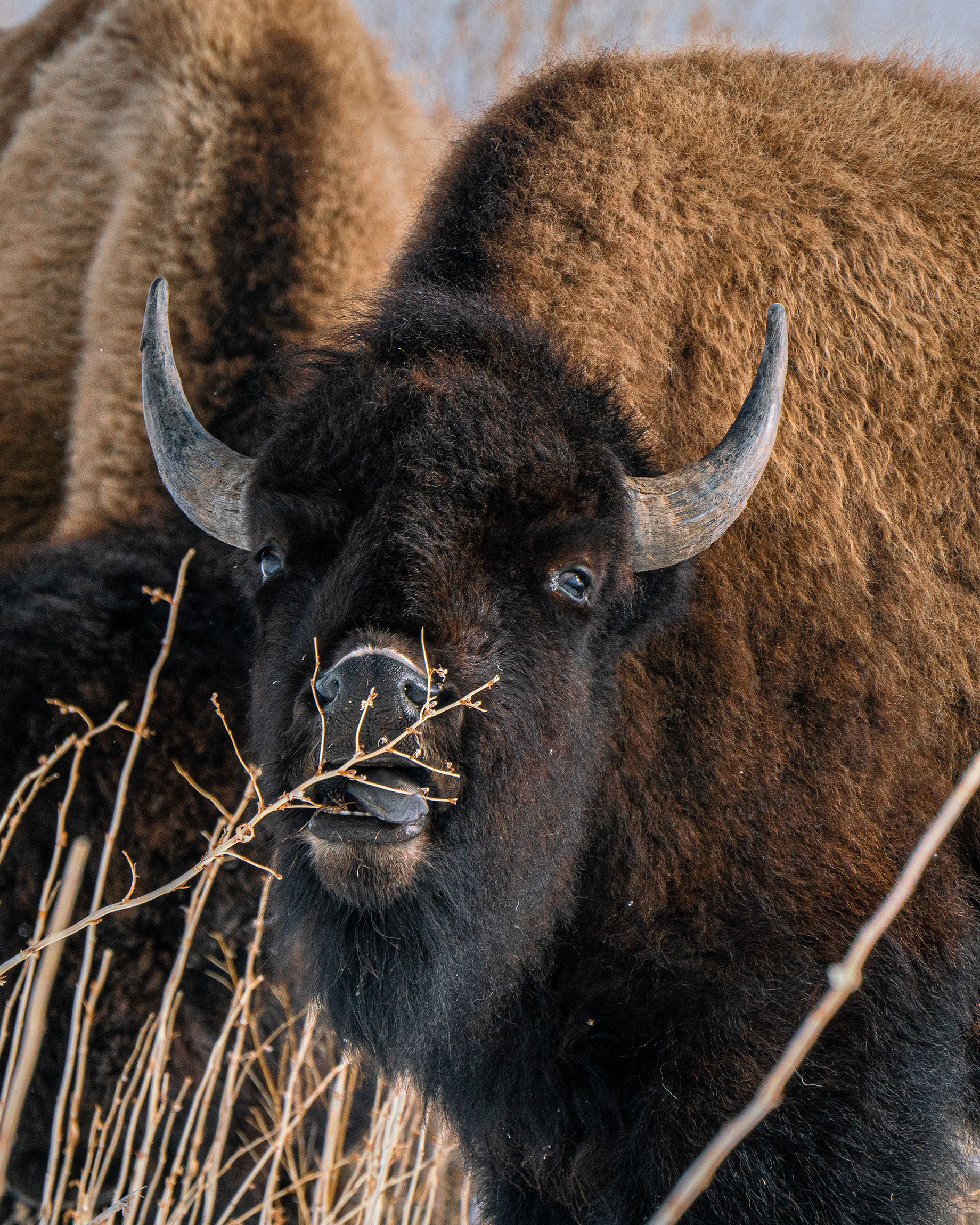#bison, #buffalo, #feeding, #tongue, #action, #wildlife, #wildlifephotography, #sony, #outdoorphotography, #naturephotography, #nature, #wildthingsofwyoming