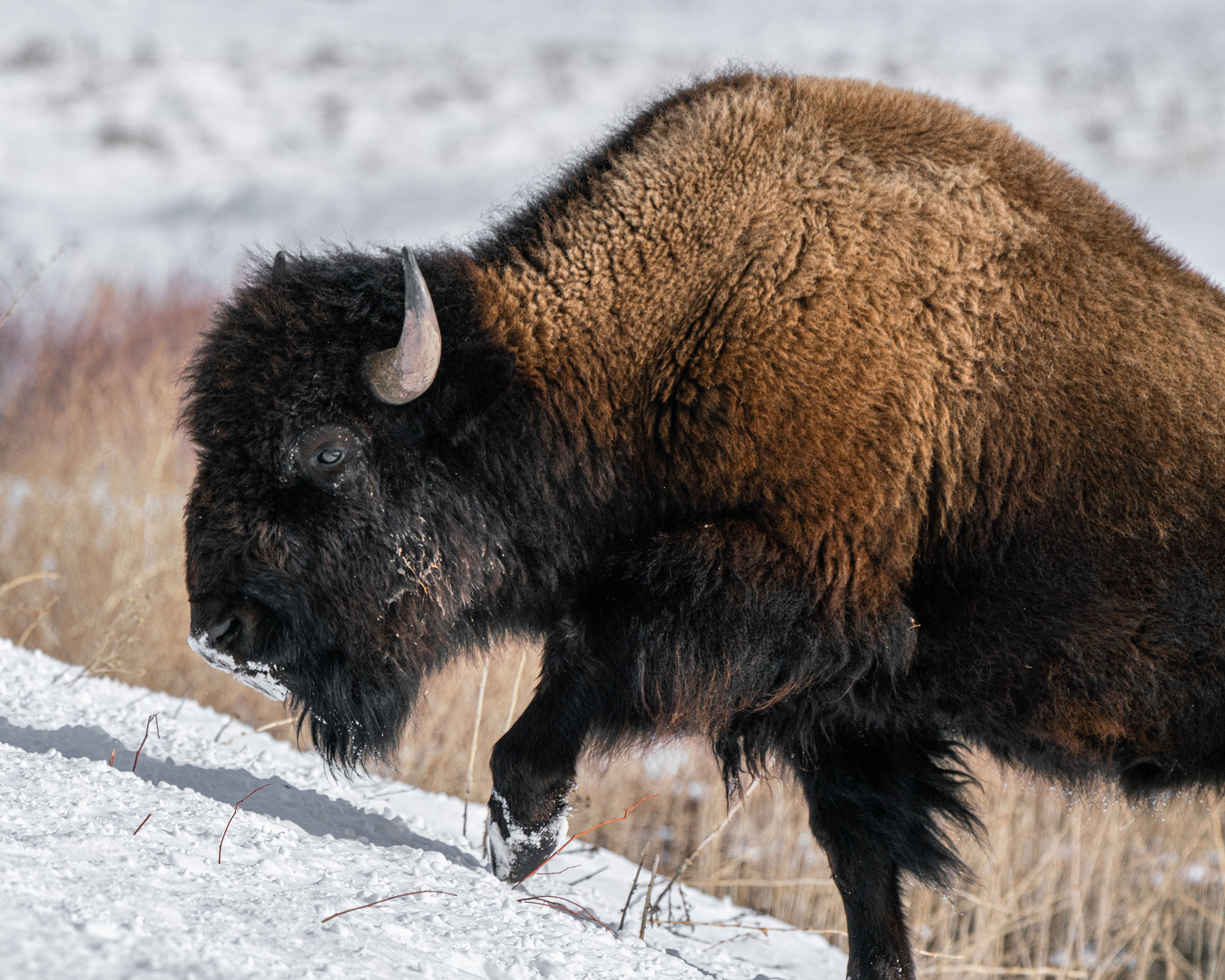 #bison, #buffalo, #wyoming, #grandtetonnationalpark, #wildlife, #wildlifephotography, #action, #nature, #naturephotography, #sony, #outdoorphotography, #wildthingsofwyoming, #kelly, #jacksonhole,
