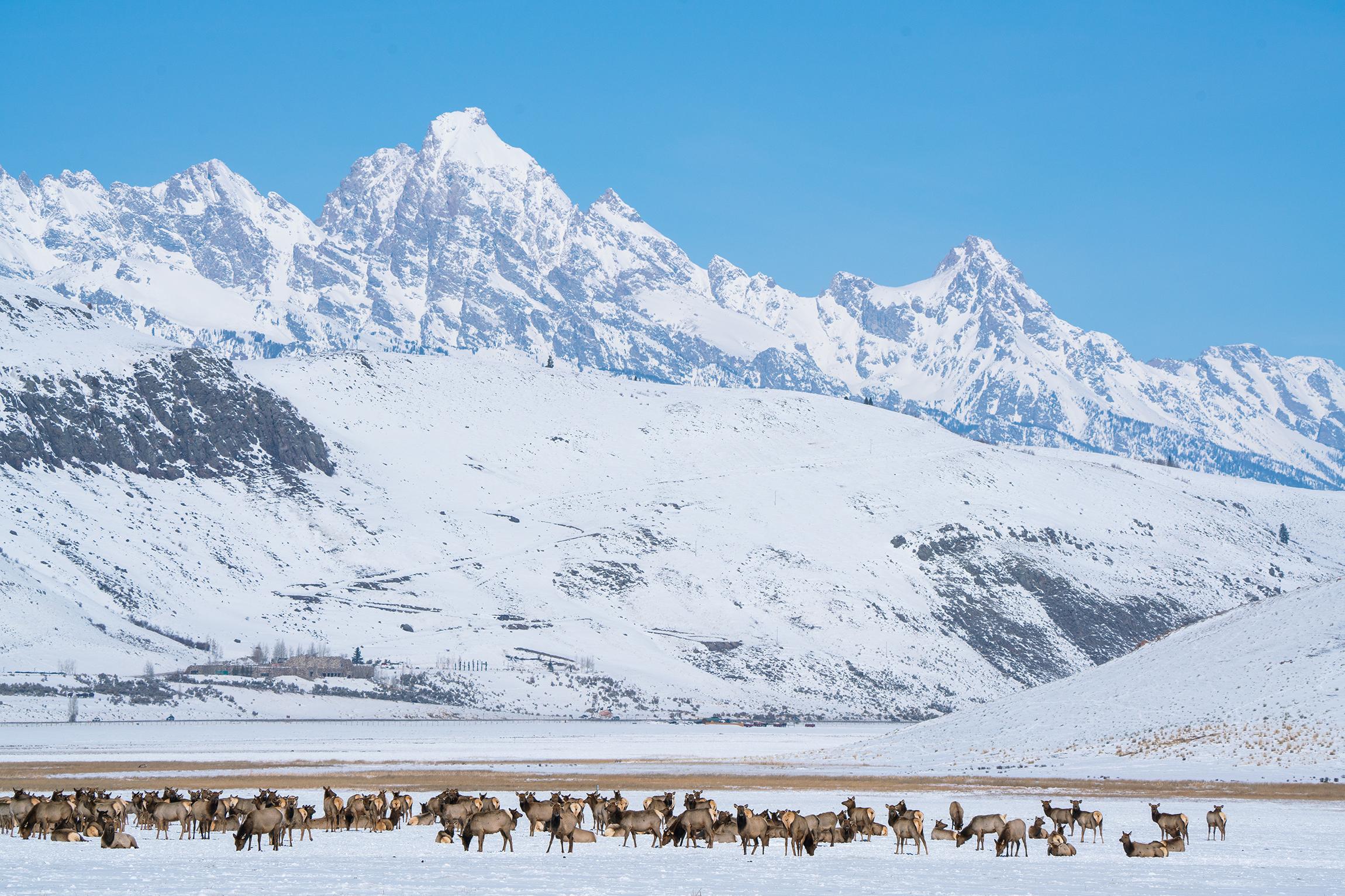 #elk, #snow, #mountains, #herd, #sanctuary, #wildlife, #predators, #safe, #naature, #naturephotography, #grandtetonnationalpark, #jacksonhole