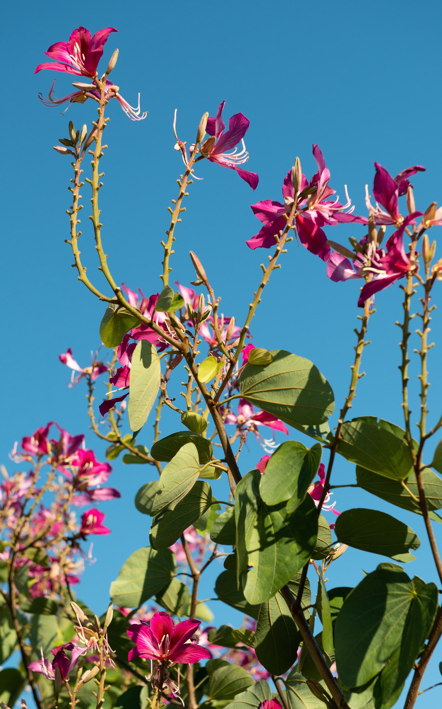#orchid, #orchidtree, #hongkong, #hongkongorchic, #growontrees, #florida, #naplesbotanicalgarden, #naplesflorida, #gardens, #botanicalgarden, #pink, #bluesky, #nature, #naturephotography