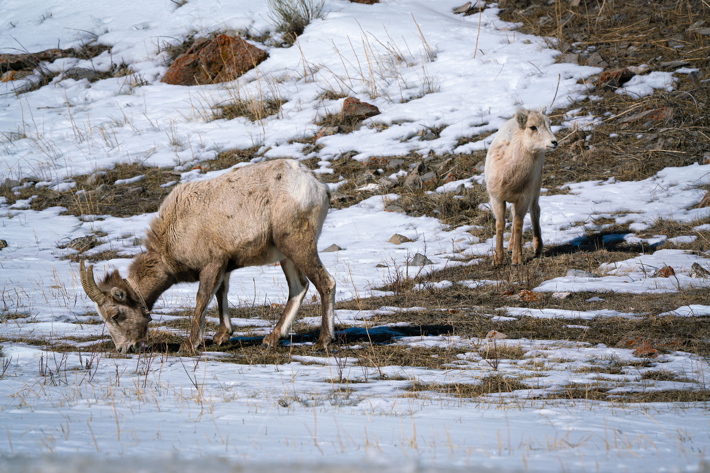 #bighornedsheep, #mother, #yearling, #family, #wildlife, #wildlifephotography, #sony, #sonyar7II, #200-600mmlens, #nature, #naturephotography, #nationalpark, #nps, #grandtetonnationalpark, #jacksonhole, #winter, #elkrefuge