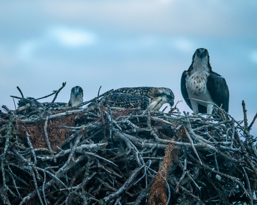 osprey_family_nest