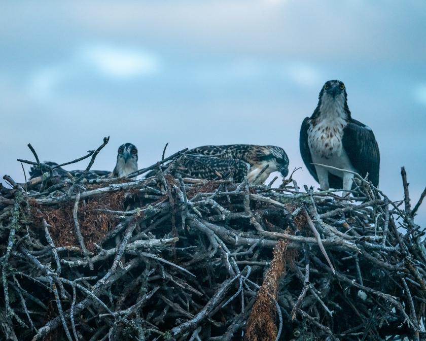 osprey_family_nest