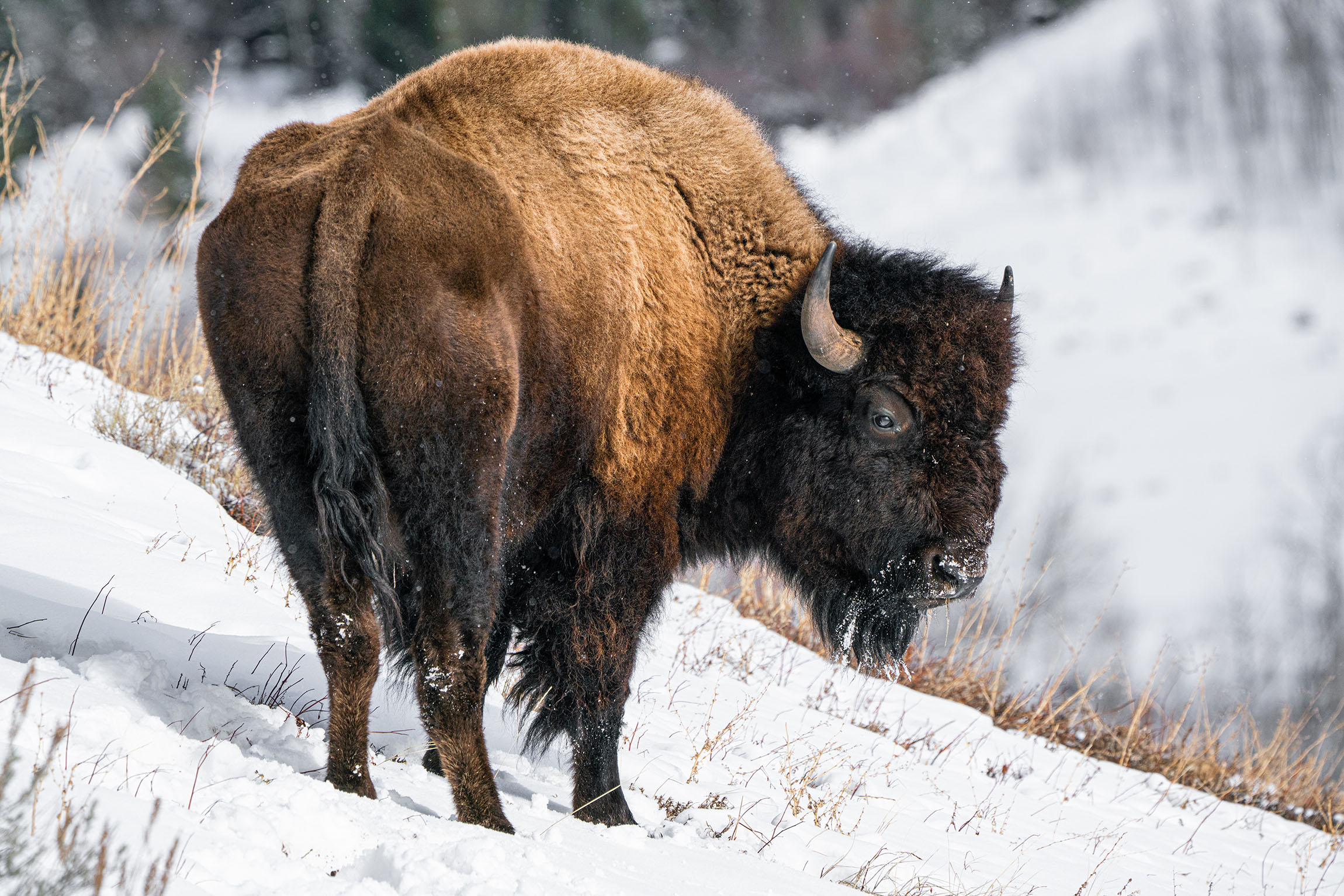 #bison, #buffalo, #wildlife, #wildlifephotography, #nationalpark, #grandtetonnationalpark, #gtnp, #sony, #safedistance #nps, #wildthingsofwyoming