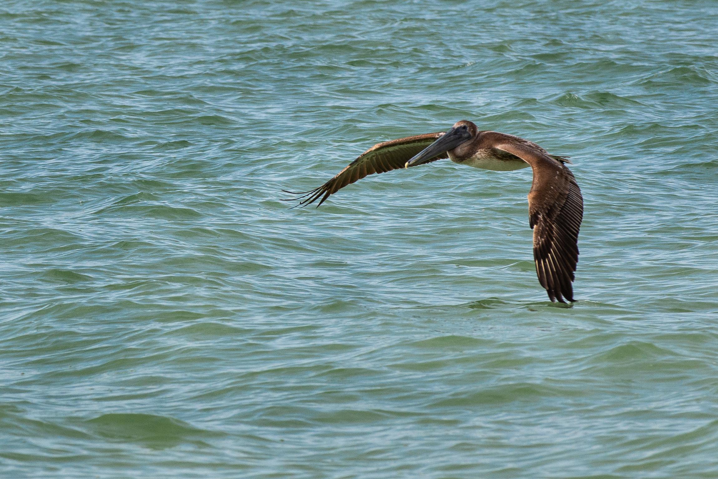#pelican, #brownpelican, #florida, #beach, #gulf, #naples, #flight, #inflight, #birdphotography, #wildlifephotography