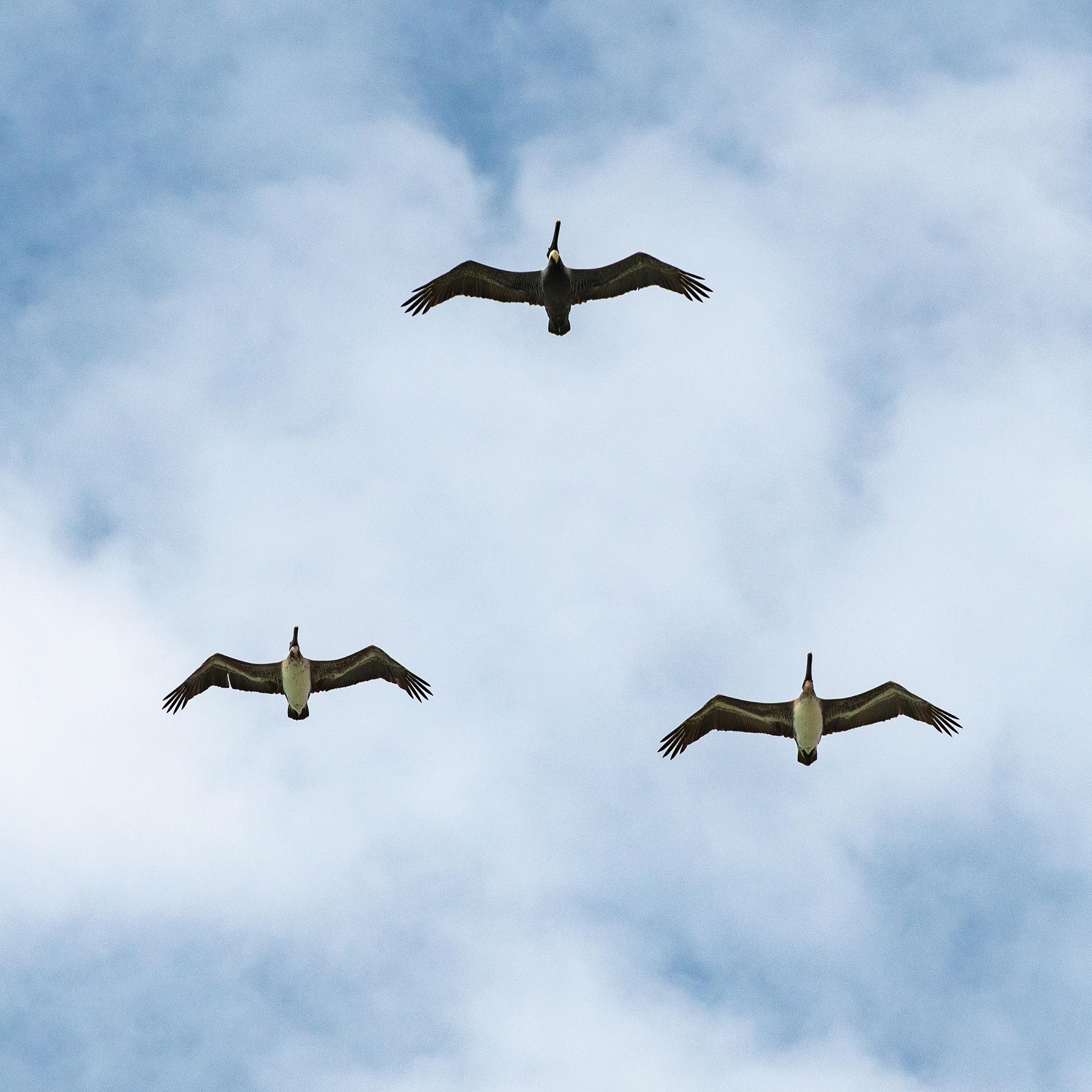 #brownpelicans, #pelican, #birdphotography, #wildlifephotography, #formation,#flight, #birdsinflight, #sky, #florida, #naples