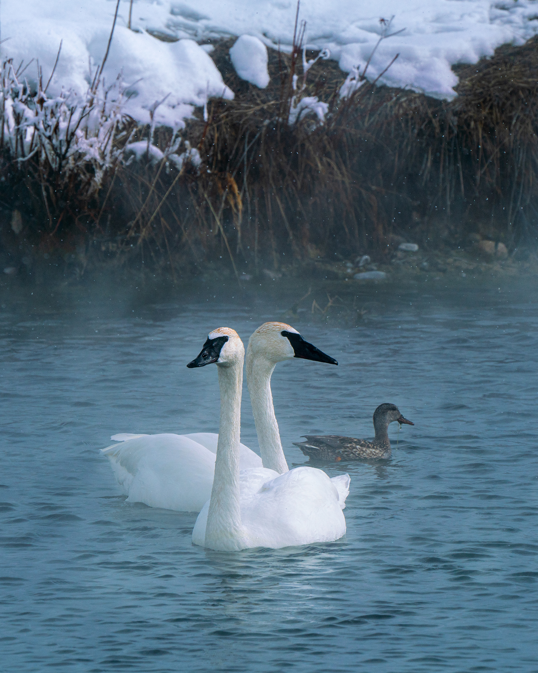 #trumpeterswans, #swans, #duck, #symbiotic, #snow, #hotspring, #hotsprings, #kellym #jacksonhole, #wyoming, #winter, #wildlife, #wildlifephotography