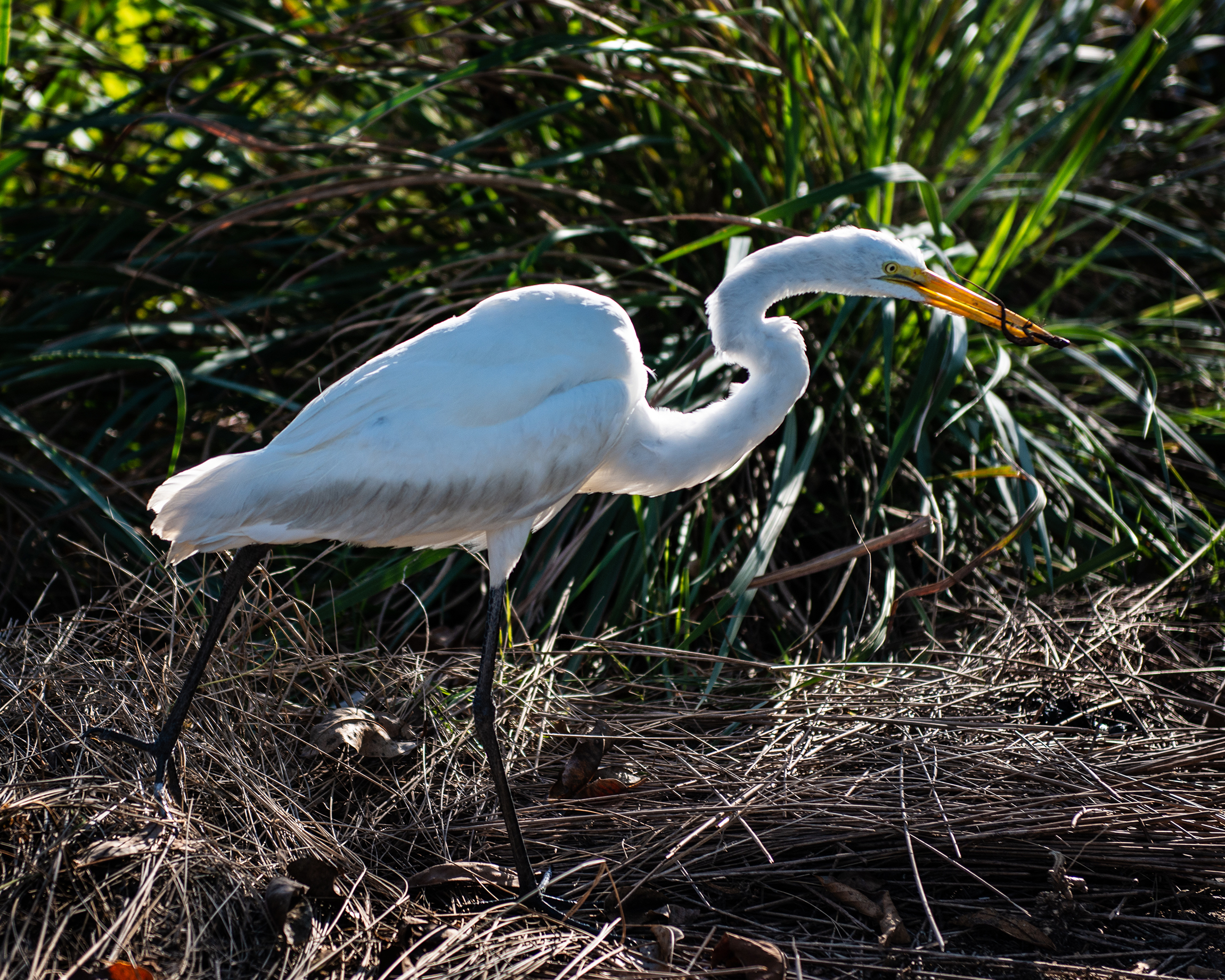 #greategret, #lizard, #catch, #freshcatch, #livecatch, #foodchain, #backlit, #nikon, #naplesbotanicalgarden, #botanicalgarden, #wildlife, #wildlifephotography, #egret, #nature, #florida