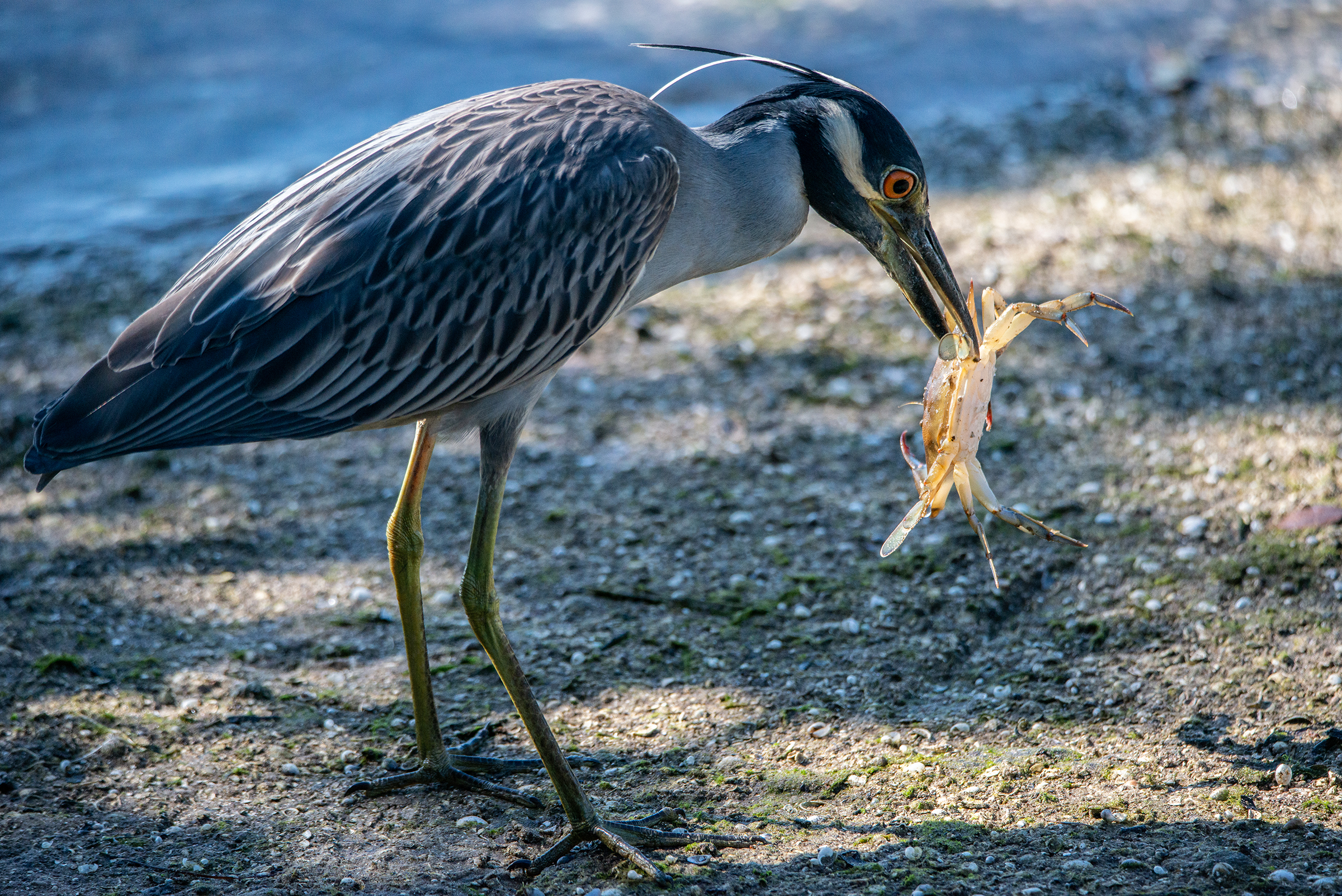 #yellowcrownednightheron, #heron, #nightheron, #birdphotography, #bird, #nature, #naturephotography, #wildlife, #wildlifephotography, #outdoorphotography, #florida, #sanibel, #dingdarling, #crab, #predatore, #prey, #closeup,