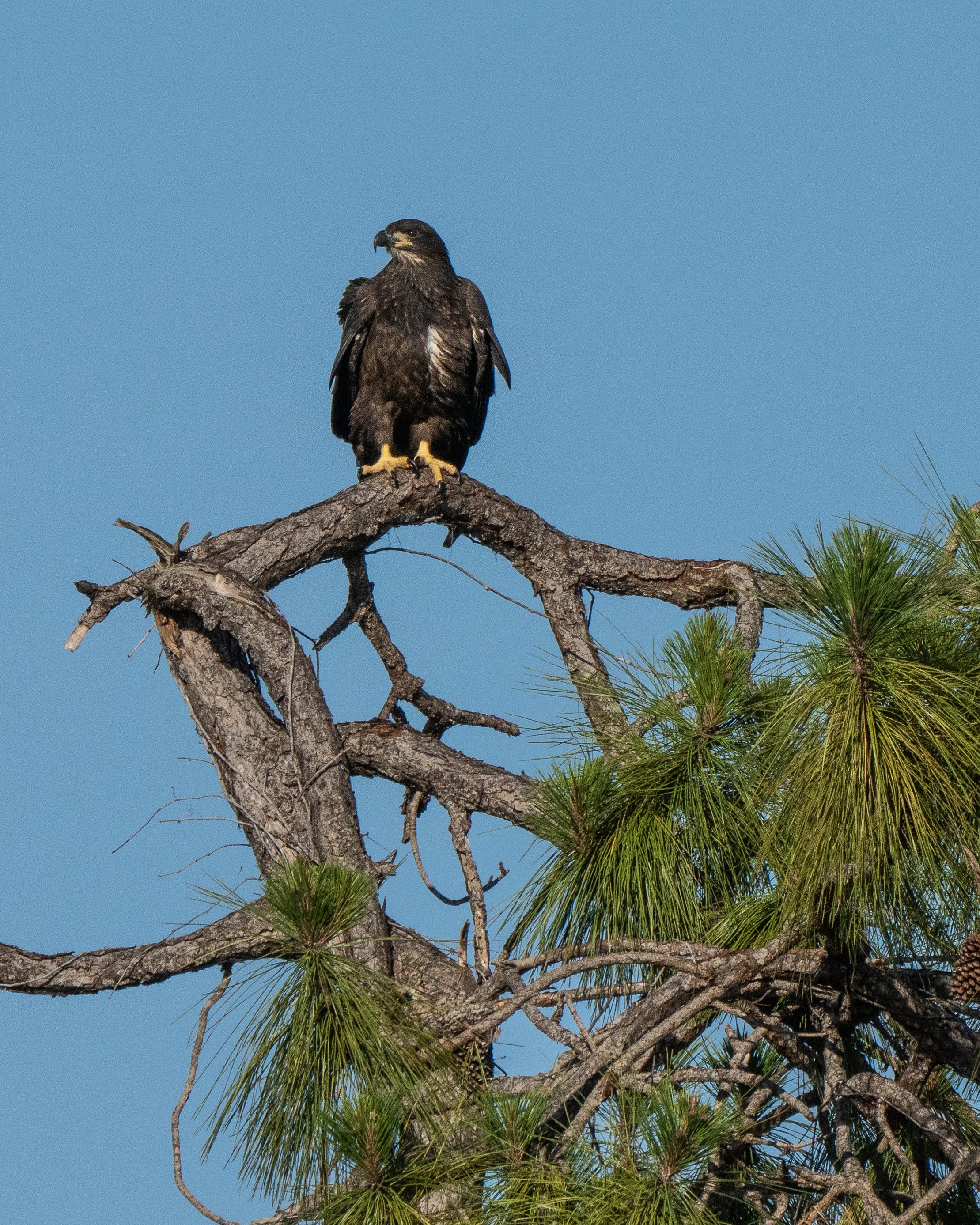#baldeagle, #eagle, #juvenile, #bird, #birdphotography, #nature, #wildlife, #naturephotography, #wildlifephotography, #florida, #sonyalpha, #naplesflorida