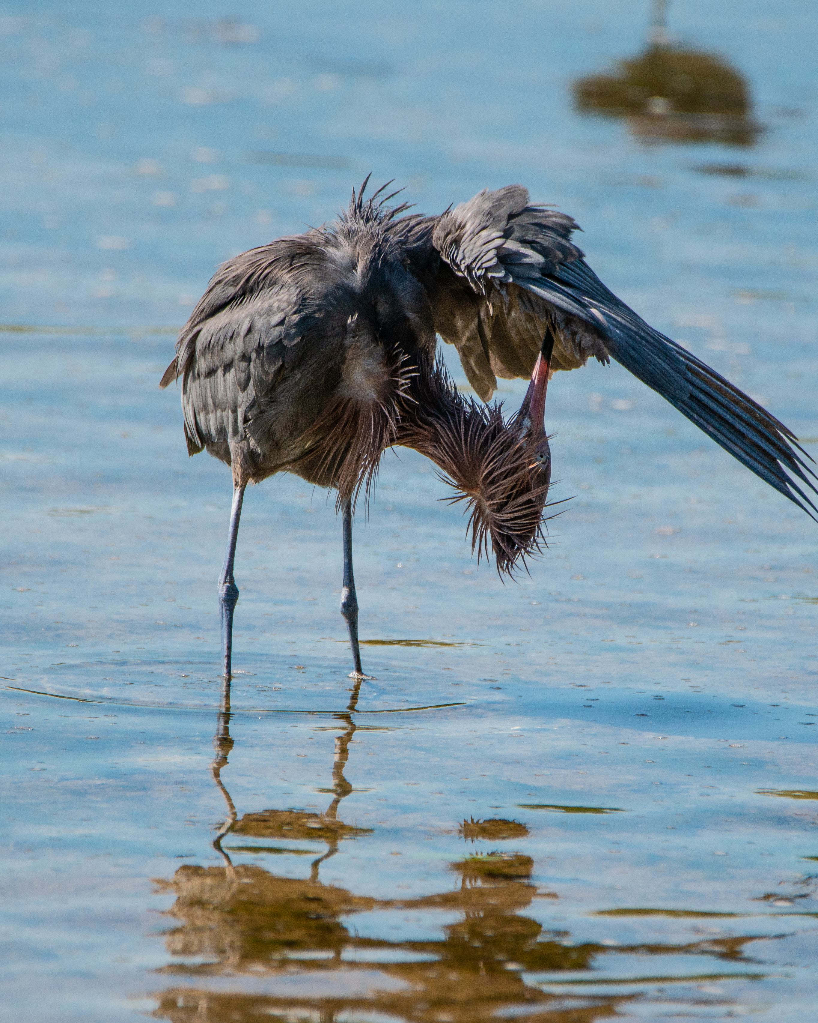 #reddishegret, #heron, #preening, #birdphotography, #naturephotography, #wildlifephotography, #nikon, #dingdarling, #sanibel, #florida, #birds, #feathers