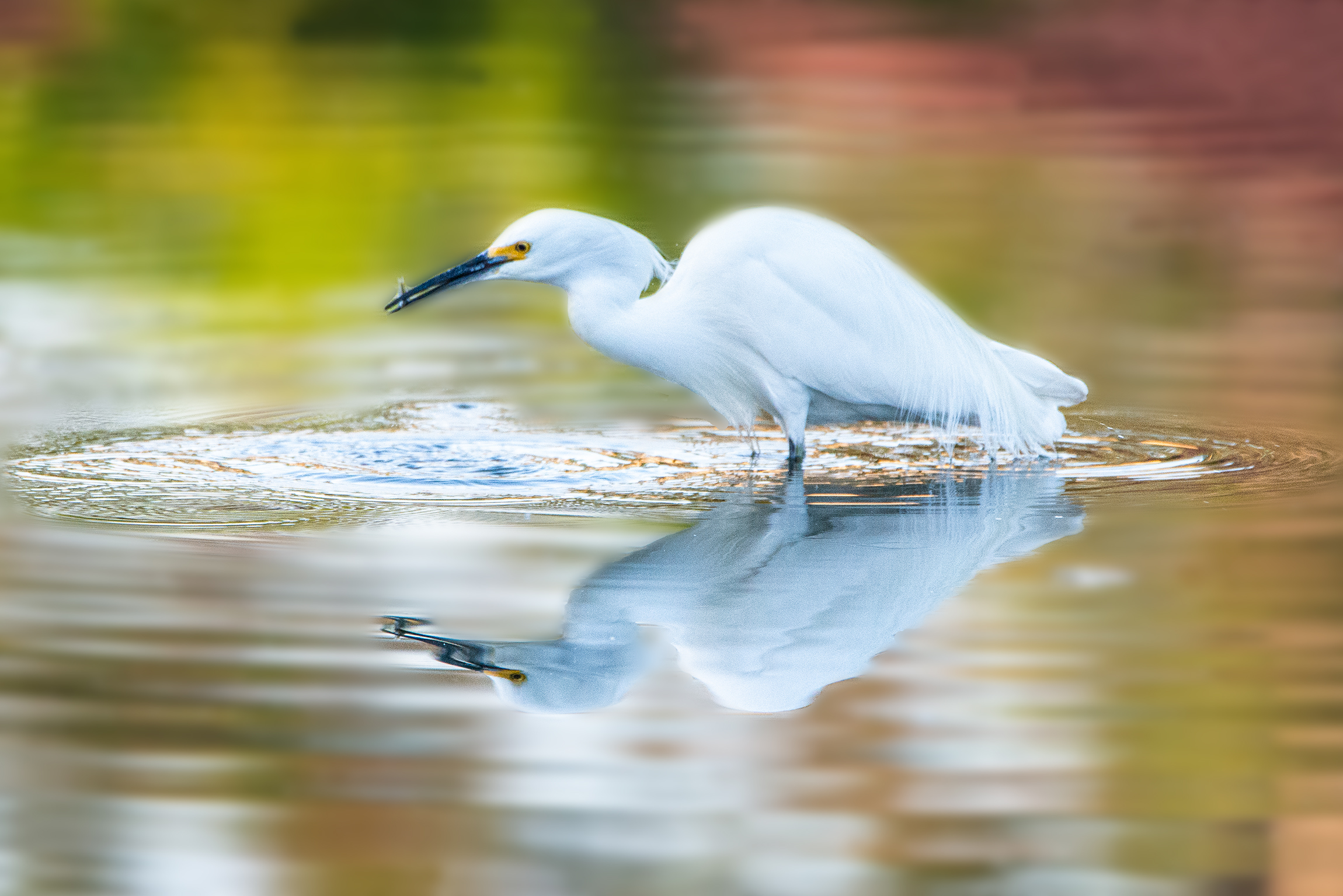 #greategret, #reflection, #lake, #light, #morninglight, #earlybird, #fishing, #color, #dawn, #florida, #naplesflorida