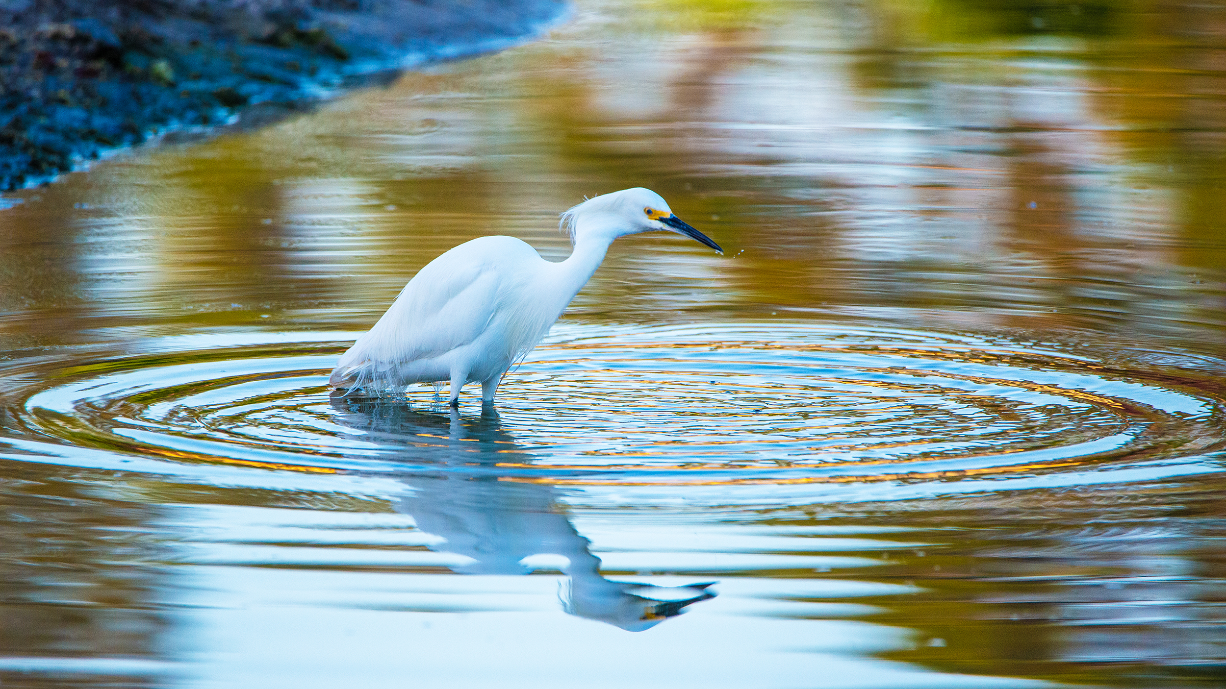 #greategret, #ripples, #lake, #water, #fishing, #reflection, #color, #dawn, #morninglight, #florida, #birds, #egret, #wildlife