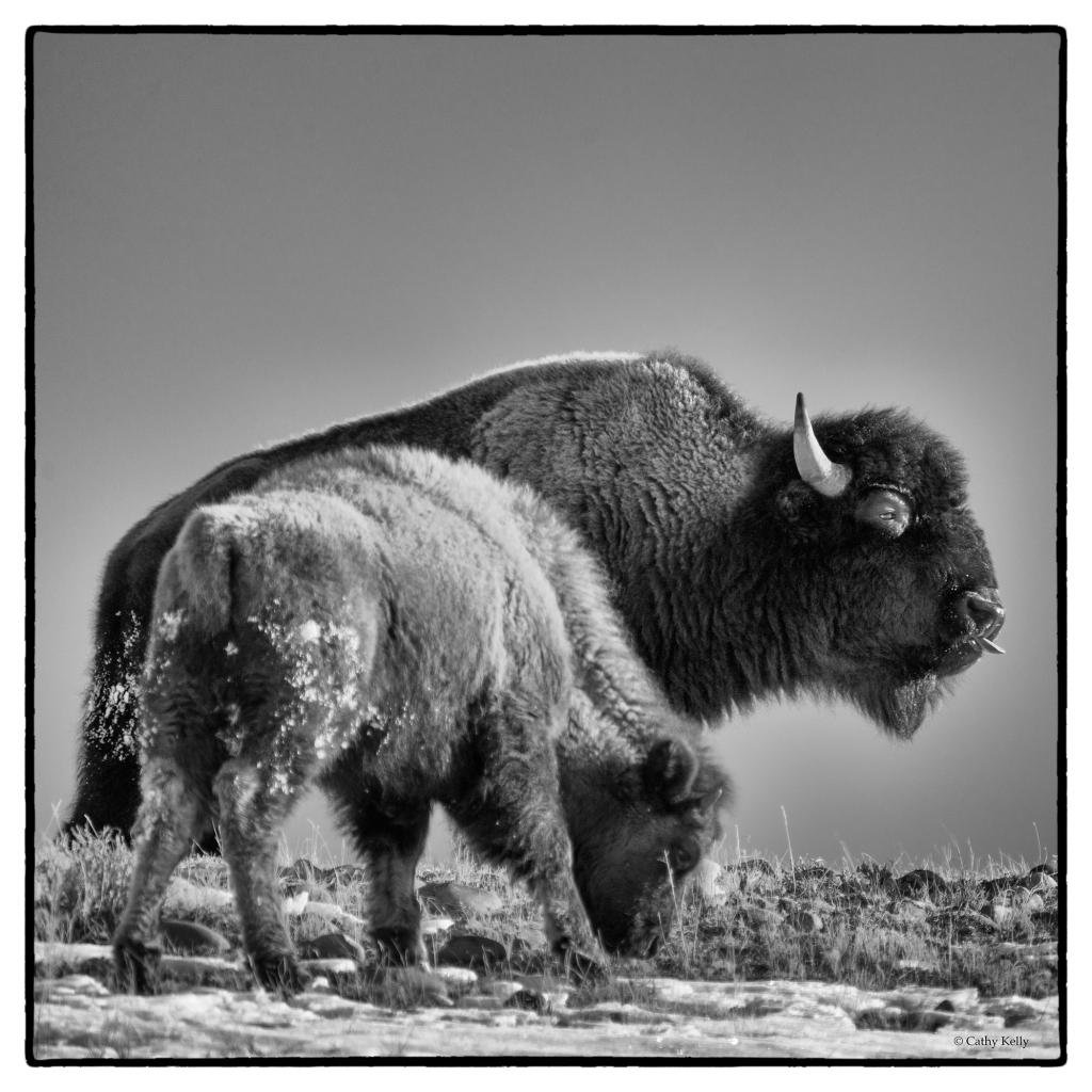 #bison, #motherandcalf, #buffalo, #gtnp, #grandteton, #wyoming, #jacksonhole, #givethemdistance, #safedistance, #wildlifephotography, #wildlife, #photography, #nature, #blackandwhite, #sonyalpha, #nik, #silverefexpro