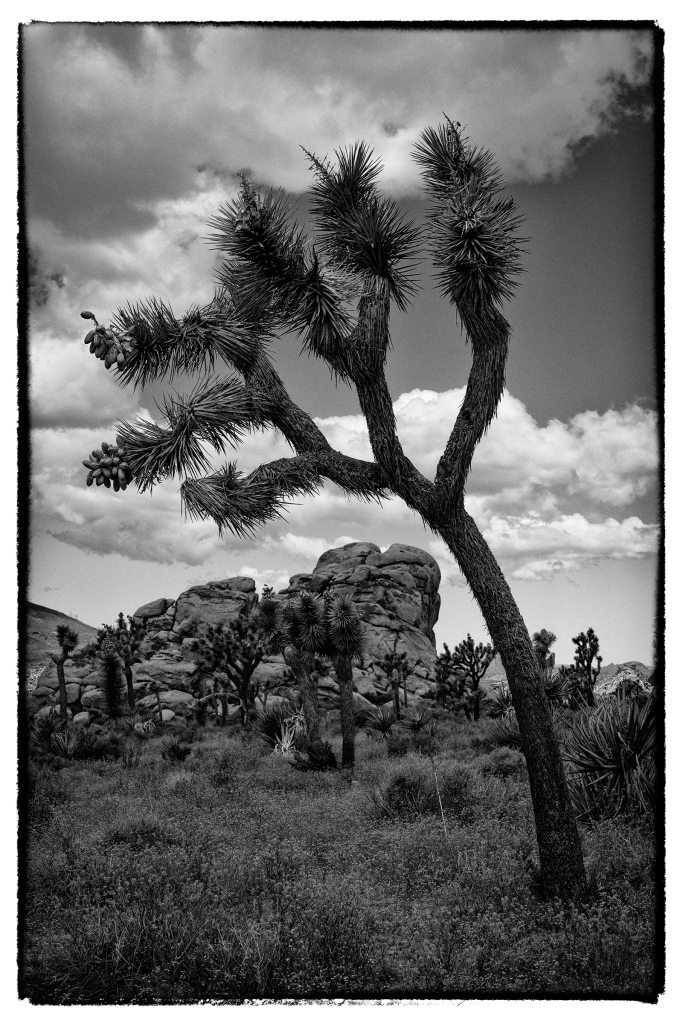 #joshuatree, #jtnp, #joshuatreenationalpark, #blackandwhite, #silverefexpro, #nik, #nikon, #shapes, #texture, #contrast, #california, #landscape, #photography, #nature, #desert, #adobe