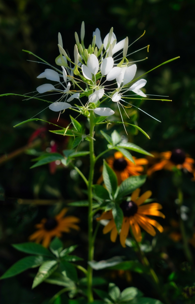 cleome, flower, summer, white, garden