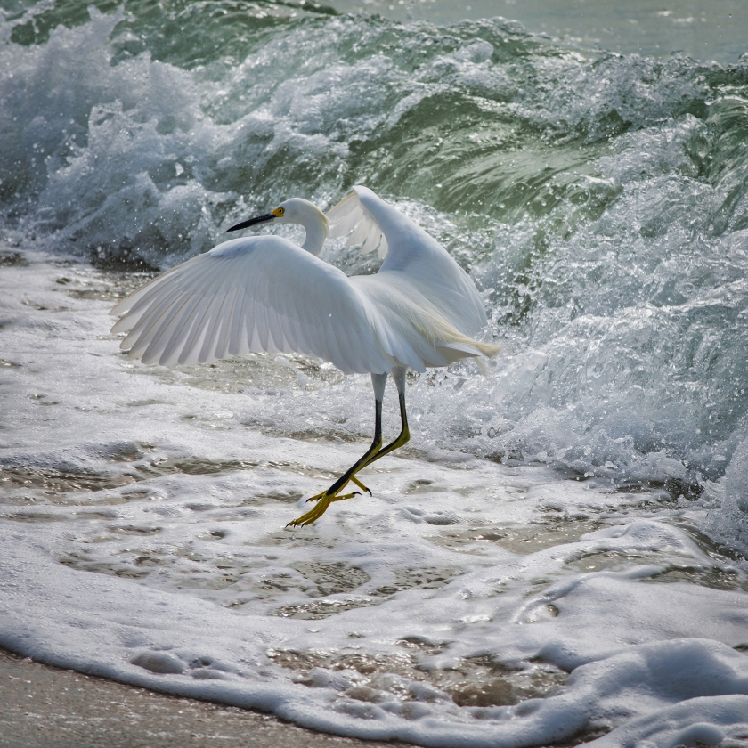 #egret, #snowyegret, #jump, #wave, #ocean, #beach, #action, #wildlife, #birds, #wadingbird, #florida, #naples